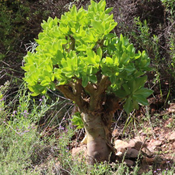 Botterboom (tylecodon paniculata)